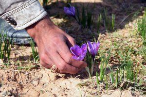 عصاره زعفران الیت برای صادرات