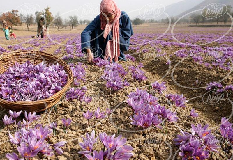 سود حاصل از صادرات زعفران فله ای گناباد