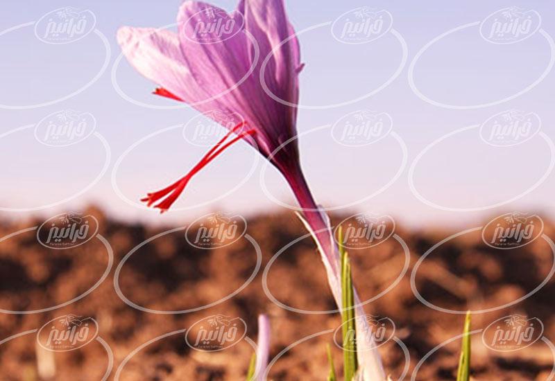 فروش زعفران در المان با سود عالی