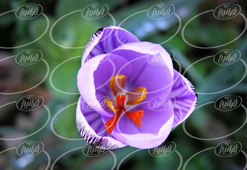 پخش پودر زعفران مصطفوی اصل و اعلا