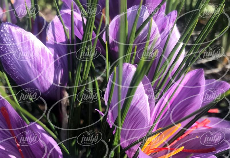 تولید رنگ خوراکی زعفران ایرانی با کیفیت برتر