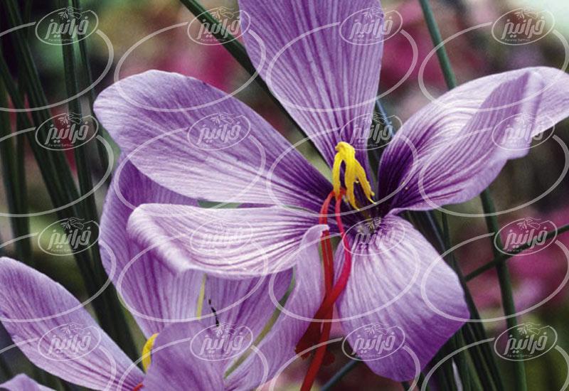 فروشنده رنگ زعفران پودر اصل
