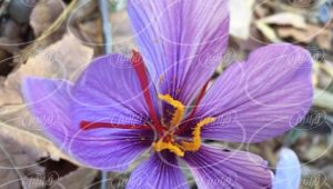 خدمات ۲۴ ساعته فروشگاه زعفران بسته بندی شده